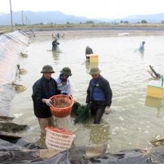 Khuyến cáo chậm thu hoạch tôm thẻ chân trắng kích cỡ 100 con/kg