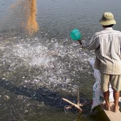 Vĩnh Long: Chỉ đáp ứng khoảng 20- 30% nhu cầu cá tra giống