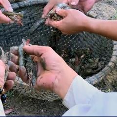 Bạc Liêu: Hơn 3.300ha tôm nuôi bị dịch bệnh