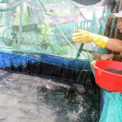 Thành triệu phú nhờ nuôi cá lóc ao lót bạt