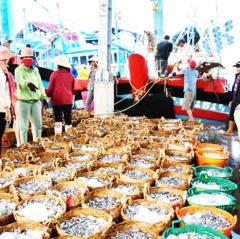 Ngư dân Thuận Nam trúng cá cơm đầu vụ Nam