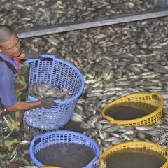 Hà Nội: Hơn 20 tấn cá chết ở Hồ tây