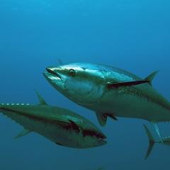 Nhật Bản: Xuất khẩu cá ngừ vây xanh được nuôi hoàn toàn