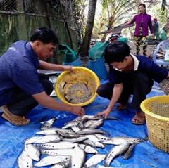 Giá cá thát lát tăng nhưng nông dân không còn để bán