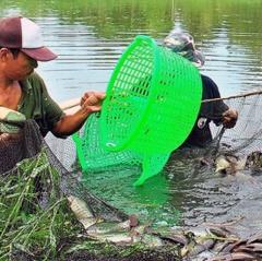 Lao đao vì cá bổi U Minh liên tục giảm giá