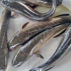 Trà Vinh: Thận trọng mở rộng diện tích khi giá cá lóc tăng