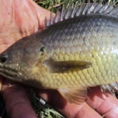 Mô hình nuôi cá rô đồng an toàn sinh học