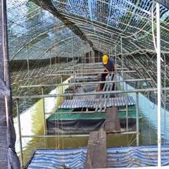Mô hình nuôi thâm canh cá chình bằng lồng trong ao đất