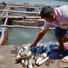 Quảng Ngãi: Nuôi cá biển ngoài vùng quy hoạch trăm bề rủi ro
