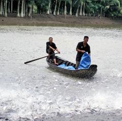 Giống cá tra: Đột phá để nâng chất lượng