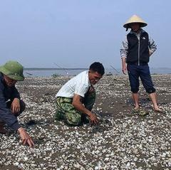 Người nuôi ngao ở Trà Vinh bị thiệt hại kép