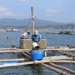 Vịnh Xuân Đài: người nuôi tôm hùm vẫn bất chấp rủi ro