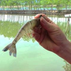 Khánh Hòa: Nuôi tôm bán thâm canh an toàn sinh học