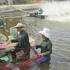Quảng Trị: Để phát triển nuôi tôm bền vững