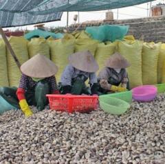 Ngao Thái Bình: Phát triển nuôi theo hướng hàng hóa