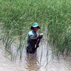Bí quyết làm giàu: Trồng bồn bồn kết hợp nuôi tôm càng xanh