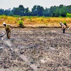 Bạc Liêu: Tập trung xuống giống vụ lúa trên đất nuôi tôm