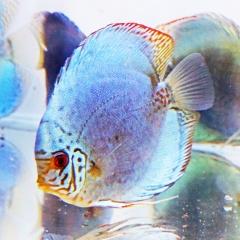 Kỹ sư điện- nuôi Cá cảnh và Tép cảnh làm giàu