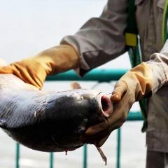 Kẽm và đồng làm giảm tỉ lệ sống của cá nuôi