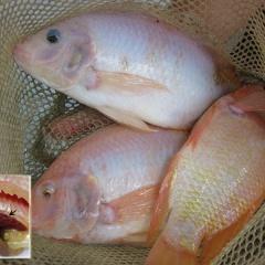 Bệnh mới do vi khuẩn trên cá rô phi nuôi ở Đông Nam Á