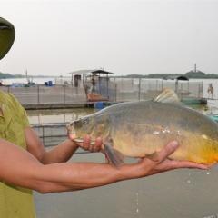Lạ với nghề nuôi cá chép không vảy, thịt thơm ngon, giá ổn định