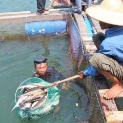 Sẽ hỗ trợ cho người nuôi cá tại khu vực biển vịnh Dung Quất
