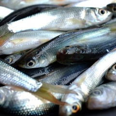 ĐBSCL được mùa cá linh