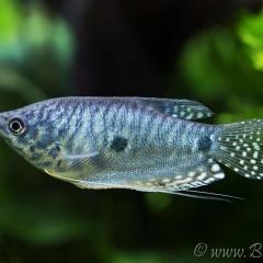 Tăng sắc tố cho cá bằng cách cho ăn bột hoa Cúc vạn thọ
