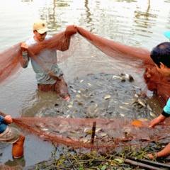 Nông dân Cà Mau trúng đậm mùa cá bổi
