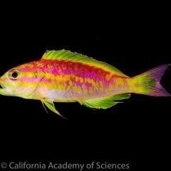 Phát hiện loài cá đẹp ngỡ ngàng tại Đại Tây Dương