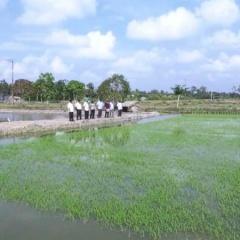 Mỹ Xuyên quyết tâm lấp lúa trên nền tôm