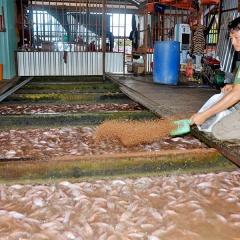 Phát triển nghề nuôi cá lồng bè An Giang