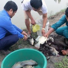 Nuôi cá rô phi theo VietGAP: Năng suất, sản lượng cao