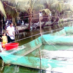 Mô hình nuôi cá trê vàng trong vèo cho thu nhập cao ở Phụng Hiệp