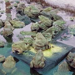 Nông dân làm giàu: Bén duyên nghề nuôi ếch