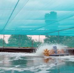 Kiên Giang: Phát triển nuôi tôm an toàn và hiệu quả