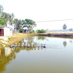 Quảng Nam: Điêu đứng vì nuôi tôm