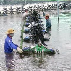 Nuôi tôm siêu thâm canh: Đột phá nhưng chưa bền vững
