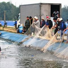 Phong Điền: Tăng cường giám sát dịch bệnh trên tôm nuôi