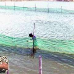 Vạn Ninh: Hơn 20ha ốc hương chết trong nhiều tháng qua