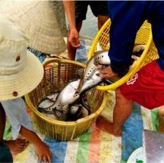 Mô hình nuôi cá thát lát cho thu nhập cao ở Phụng Hiệp