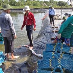 Quảng Nam khẩn trương thu hoạch tôm nuôi để tránh bão