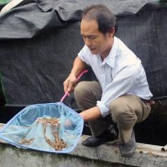 Hiệu quả kinh tế cao từ thuần hóa cá chình bạch tử giống