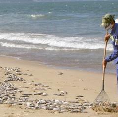 Gần 2 tấn cá mòi chết dạt vào bờ biển Đà Nẵng