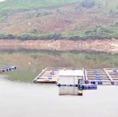 Cá diêu hồng chết hàng loạt do ngạt khí mê tan trong lòng hồ