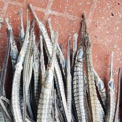 Khuyến cáo không nuôi cá ngựa xương trong ao nuôi tôm