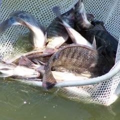 Thúc đẩy tăng trưởng cho cá nuôi nhờ bón phân