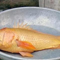 Phát hiện cá rô màu vàng óng lạ lẫm ở Kiến Tường