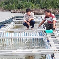 Vì sao nuôi cua biển tỷ lệ sống thường thấp và giải pháp