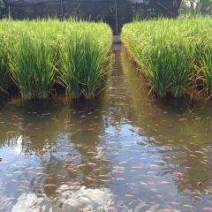 Hướng dẫn kỹ thuật và một số lưu ý khi nuôi cá xen lúa